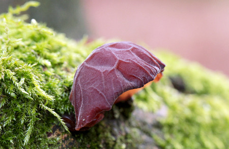 Ear judas in moss in forest