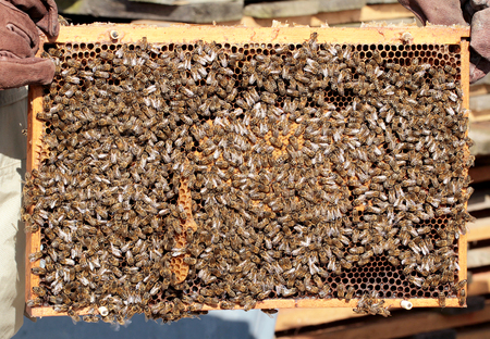 praiseworthy: Bees on honeycomb in hive