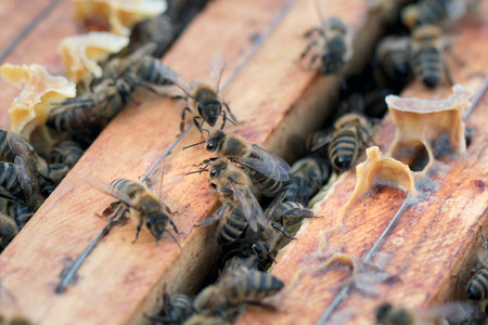 Bees on honeycomb in hive