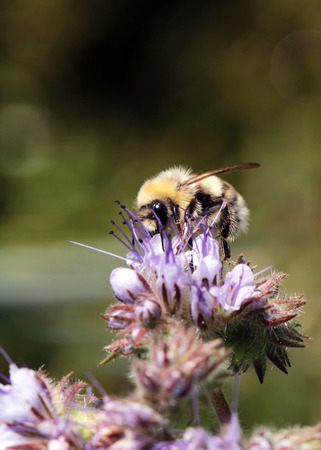 Bees at flower at work