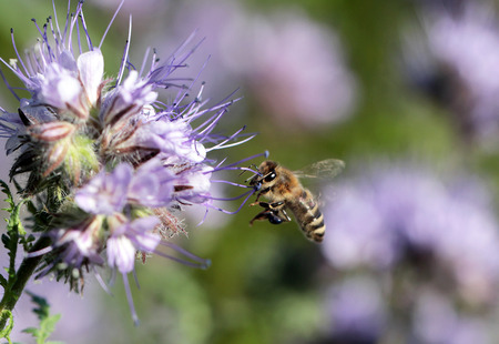 Bees at work at flower
