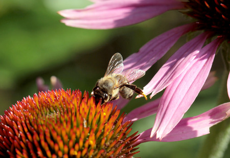 praiseworthy: Bees at work at flower