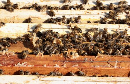 praiseworthy: Bees on honeycomb in the hive Stock Photo