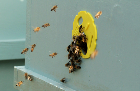 Bees on honeycomb in the hive Stock Photo