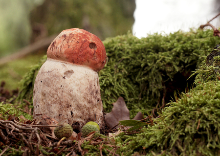 Leccinum in moss in forest