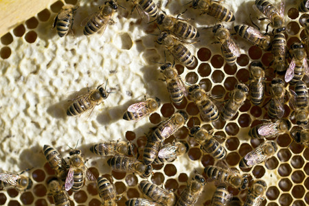 Bees on honeycomb in beehive