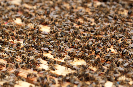 Bees on honeycomb in the hive Stock Photo - 69321384