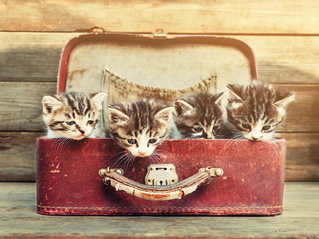 Four little kittens sitting in vintage suitcase on wooden background. Image with sunlight effect photo