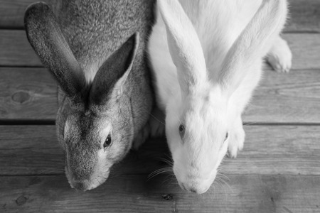 blackandwhite: Two rabbits on a wooden table, top view, black-and-white image