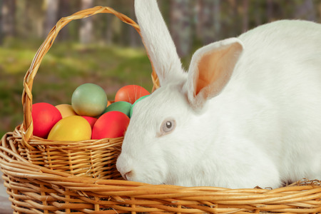 Beautiful white Easter rabbit in a basket with colored eggs outdoor photo