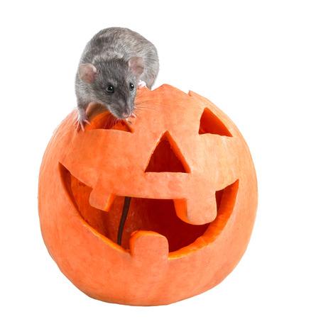 rata: Rata gris se sienta en una calabaza de Halloween tallada sobre un fondo blanco Foto de archivo