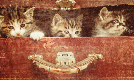 Beautiful curiosity kittens in vintage suitcase on a wooden background. Vintage image photo