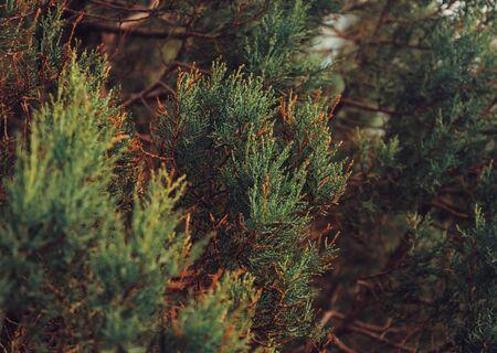 juniper: Close-up image of green juniper Stock Photo