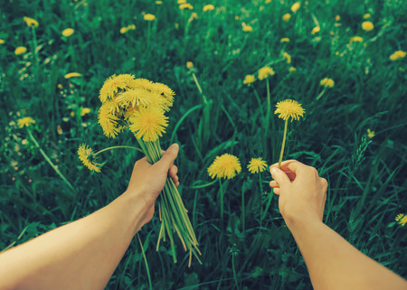 dandelion: Woman picking flowers yellow dandelions on meadow in summer. Point of view shot.  Stock Photo