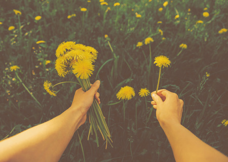 point of view: Woman picking flowers yellow dandelions on meadow in summer. Point of view shot.  Stock Photo