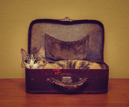 suitcase: Cute cat of tortoiseshell color lying in a vintage small suitcase indoor