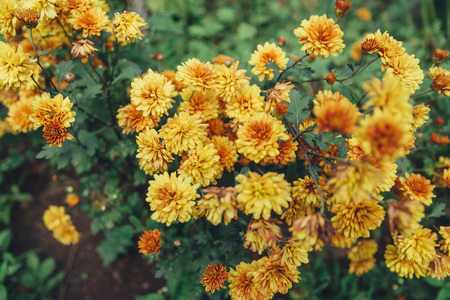 autumn colour: Yellow chrysanthemums flowers outdoor