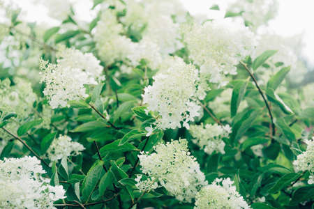 flowers garden: Green shrub with white flowers in summer garden