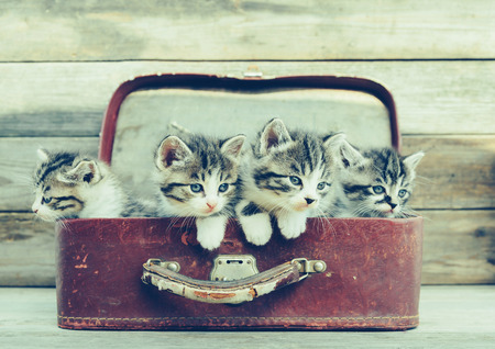 white cats: Four kittens sitting in a vintage suitcase on wooden background