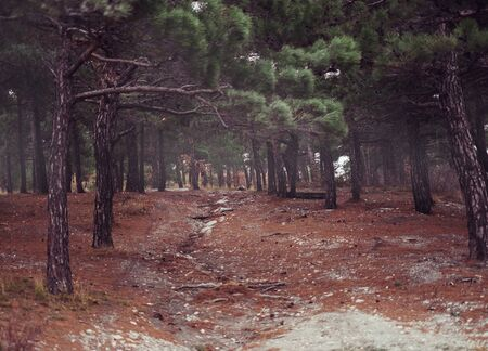 no image: Footpath in a beautiful pine forest, dry pine needles on land near the trees. No people on image
