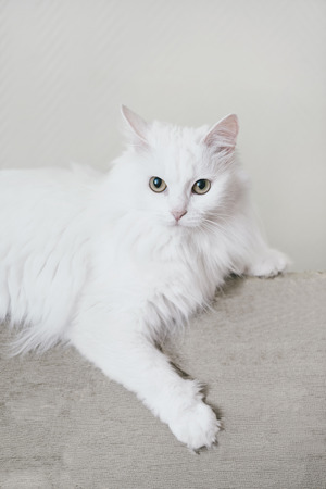 Fluffy white turkish van cat lying on sofa, looking at camera. Reklamní fotografie - 82807118