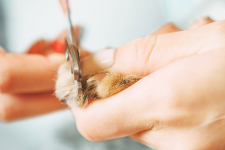 Woman cutting nails of domestic cat with clippers, close-up.