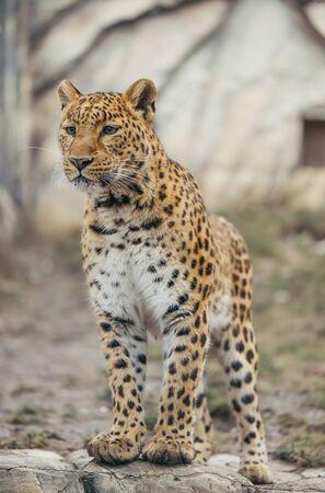 Leopard walking outdoor, wildlife. Stock Photo
