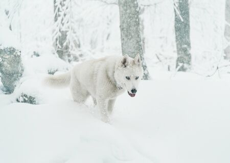 Husky dog walking on snow in winter forest