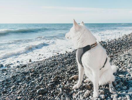 Husky dog sitting on pebble coast and looking at sea Foto de archivo