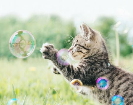 Cute tabby kitten playing with soap bubbles on green meadow outdoor. Banco de Imagens