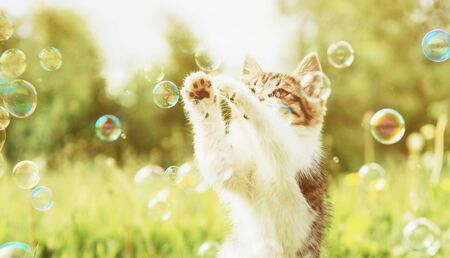 Cute little kitten playing with soap bubbles on summer meadow outdoor.