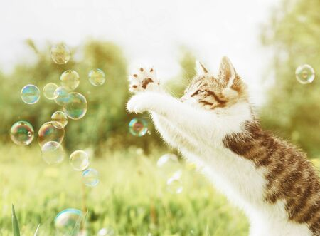 Curiosity cute kitten playing with soap bubbles on meadow outdoor.