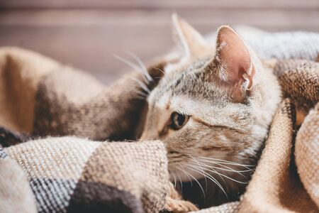 Cute cat of ginger color lying under plaid. 版權商用圖片