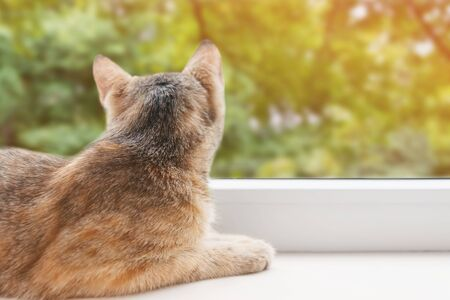 Curious cute cat of ginger color lying on the windowsill and looking at green trees outside the window in summer.