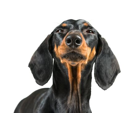 Divertido retrato de perro dachshund aislado sobre fondo blanco.