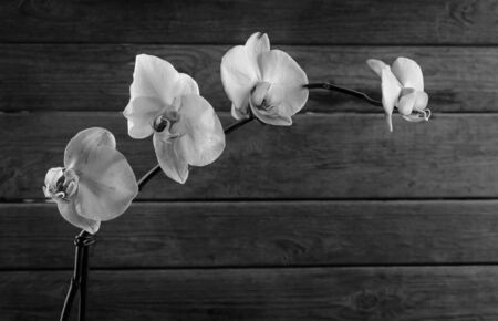 Orchid on a wooden background, monochrome image, space for text