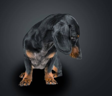 Smooth-haired dachshund dog looking down on black background, space for text Imagens