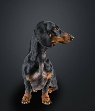 Smooth-haired dachshund dog looking away on black background, space for text
