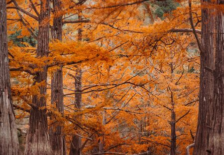 Cypresses trees in autumn season, close-up image, nature background.