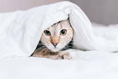 Kot pręgowany chowa się na łóżku pod kocem i patrzy w kamerę.
