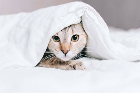 Tabby cat is hiding on the bed under a blanket and looking at the camera.