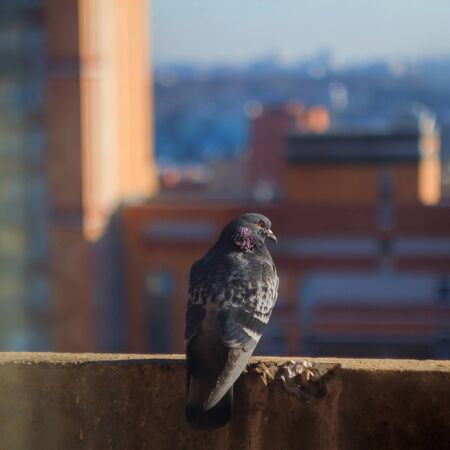 dove sits on a background of houses Banco de Imagens