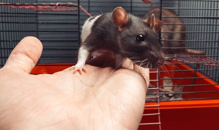 Two rats in a cage, one rat gets out on human hand
