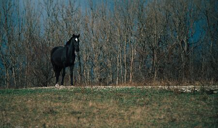 Beautiful one black horse in autumn outdoors