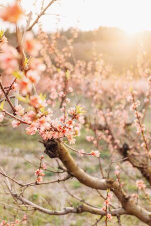 Blühender Pfirsichbaum im Frühlingsgarten bei Sonnenuntergang. Standard-Bild