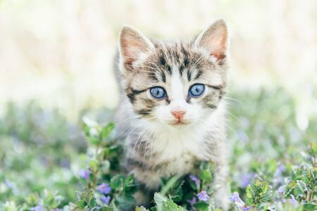Cute kitten with blue eyes walks on green grass