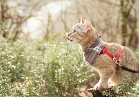 Curious domestic cat of ginger color on a leash walking in summer forest. Banco de Imagens