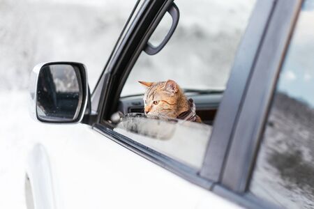 Little traveler tabby ginger cat looking out of the car in winter. Stock Photo
