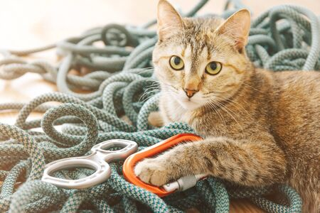 Cute curious domestic cat of ginger color lying on climbing rope with equipment.
