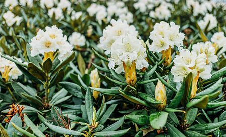 Blooming Caucasus white rhododendrons flowers, close-up. Stok Fotoğraf